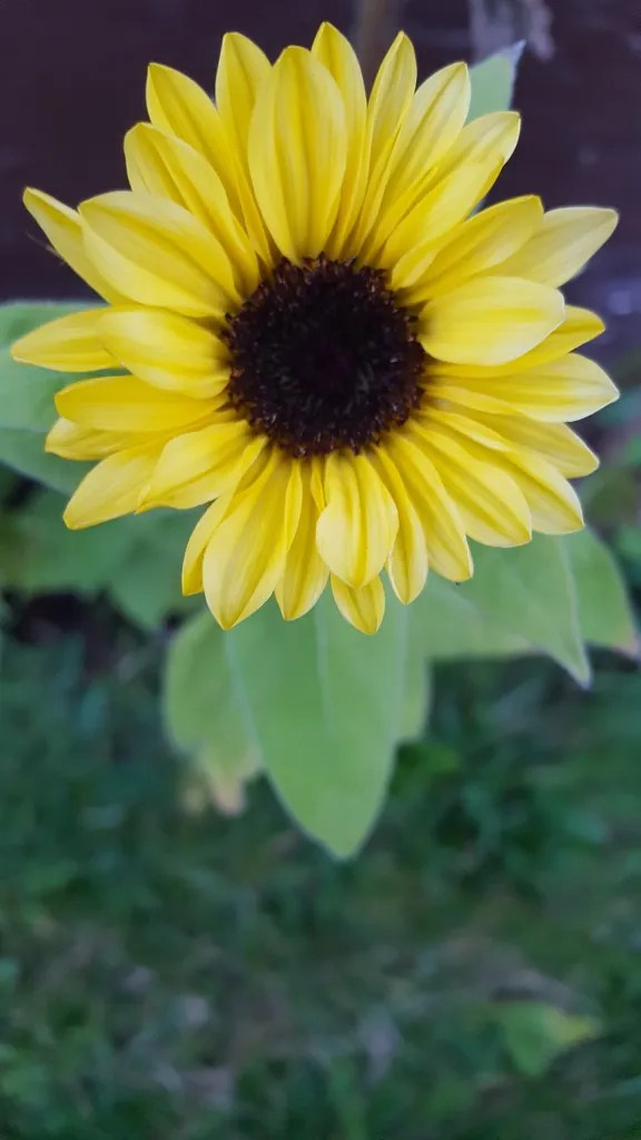 Sunflower Sunrich Lemon - Fully lemon yellow flowerheads, these flowerhears are smaller than the other tall varieties and the plants have greater variation in height between 3' and 5'.