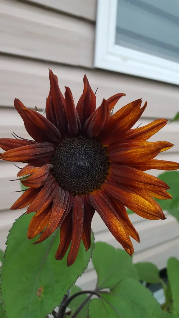 Sunflower Velvet Queen - Flowerhead had deep Red Brown centre fading to Yellow brown on the outer edges. 4-6' Tall