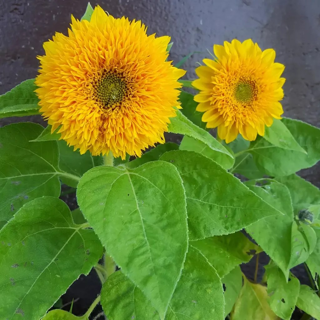 Sunflowers - Teddy Bear, Short variety growing no taller than 3'. Very bushy flowerheads with small seed centres. Excellent direct sown in garden or in containers.