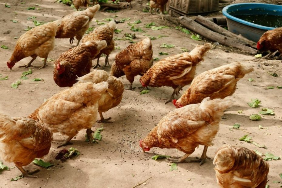 Small, medium poultry farms