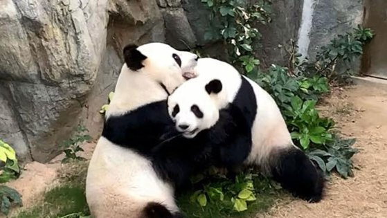 Pandas reproduce less when things get too good