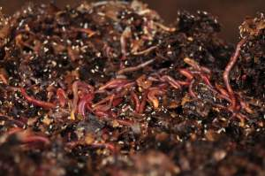 wastewater treatment with worms