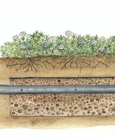 planting on your septic drain field