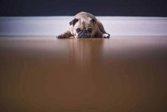 View from 3 metres away of a small, sad pug dog slumped on the floor looking directly at you.