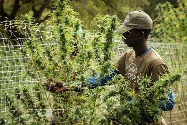 man-trimming-cannabis-defoliation