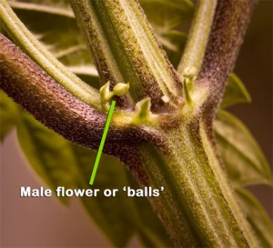Male marijuana flowers