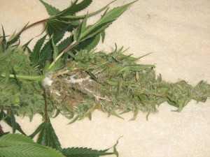 Grey mold marijuana