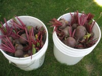 Beets-in-Buckets