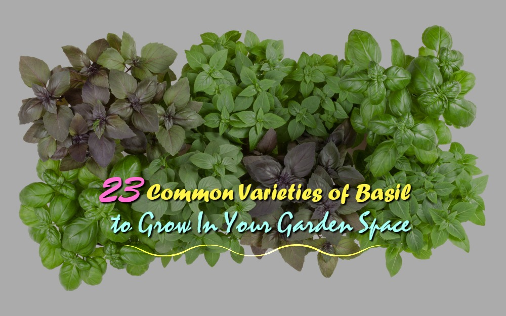 23 Common Varieties of Basil to Grow In Your Garden Space