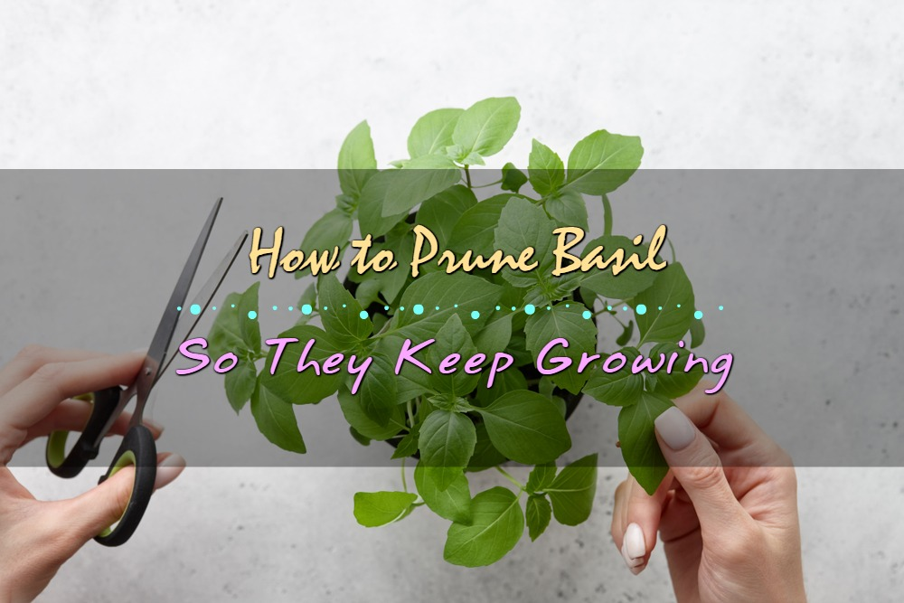 How to Prune Basil So They Keep Growing