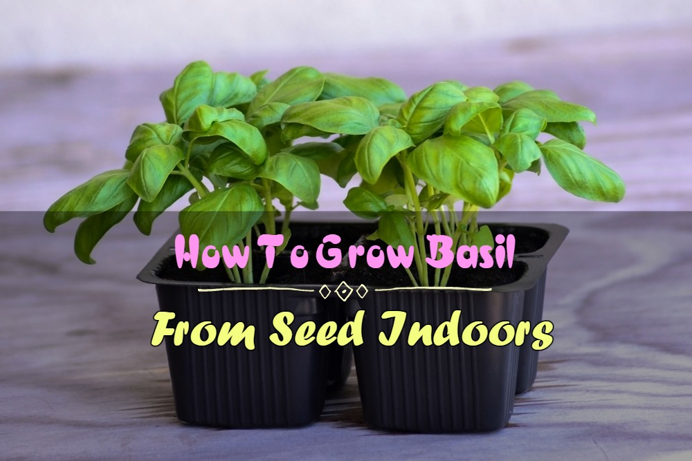 The Ultimate Guide on How To Grow Basil From Seed Indoors