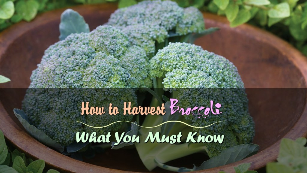 How To Harvest Broccoli What You Must Know