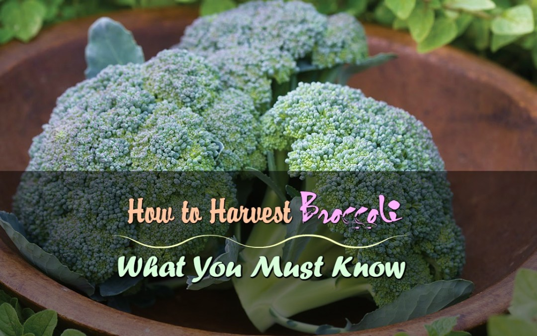 How to Harvest Broccoli: What You Must Know