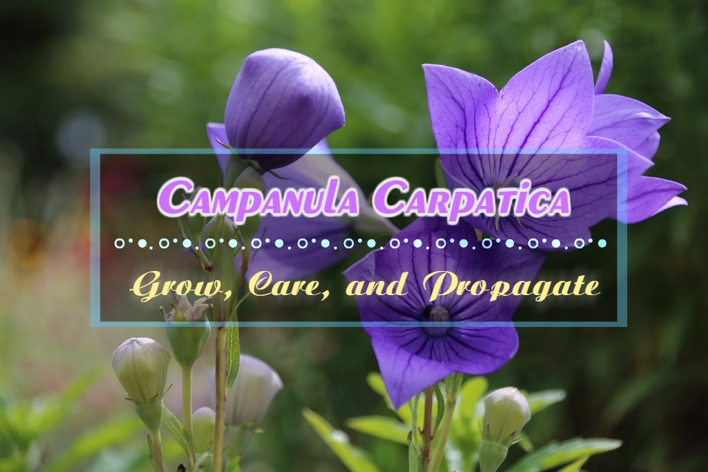 Campanula Carpatica: Grow, Care, and Propagate for Carpathian Bellflower