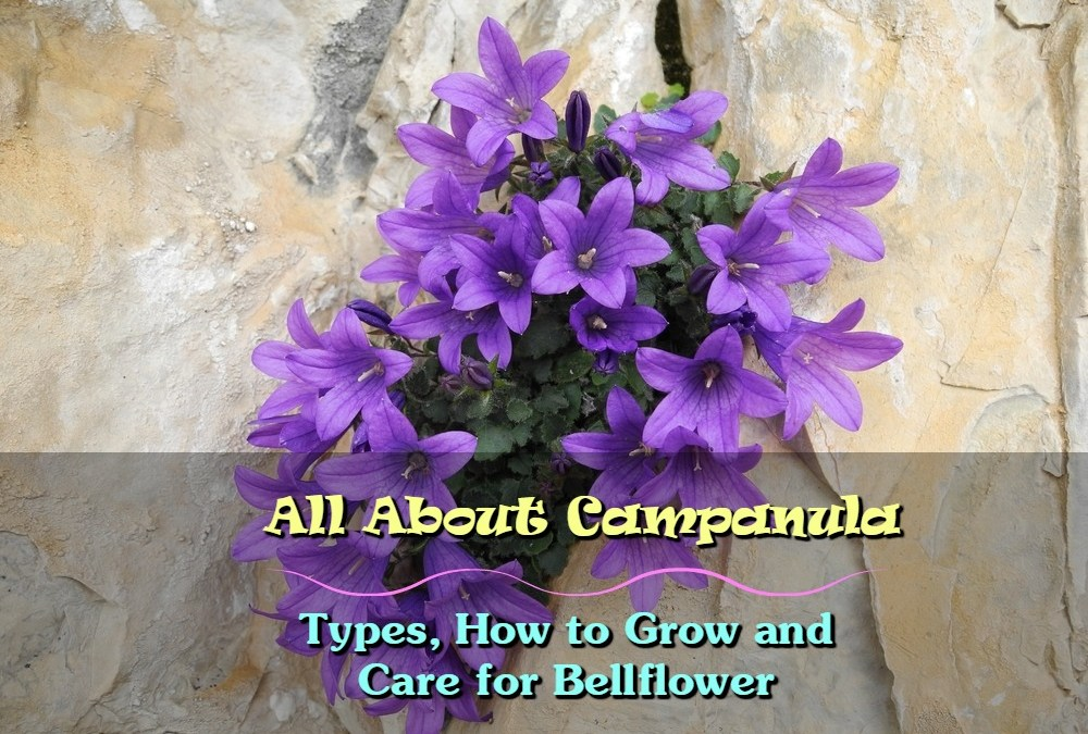 All About Campanula: Types, How to Grow and Care for Bellflower
