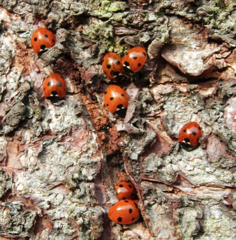 Ladybirds feeding