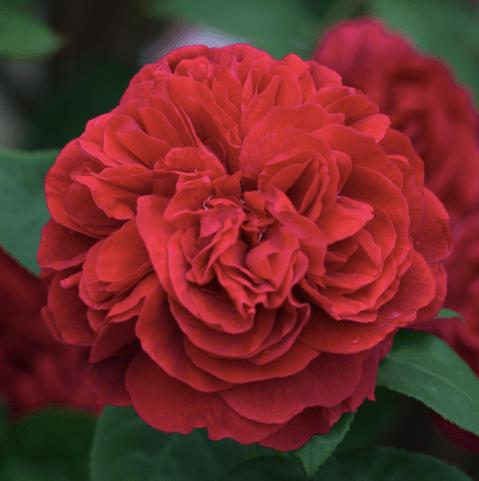 ld-braitwaite-roses