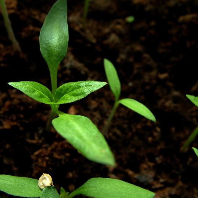 Germinating Pepper Seeds: Tricks To Get Them To Sprout