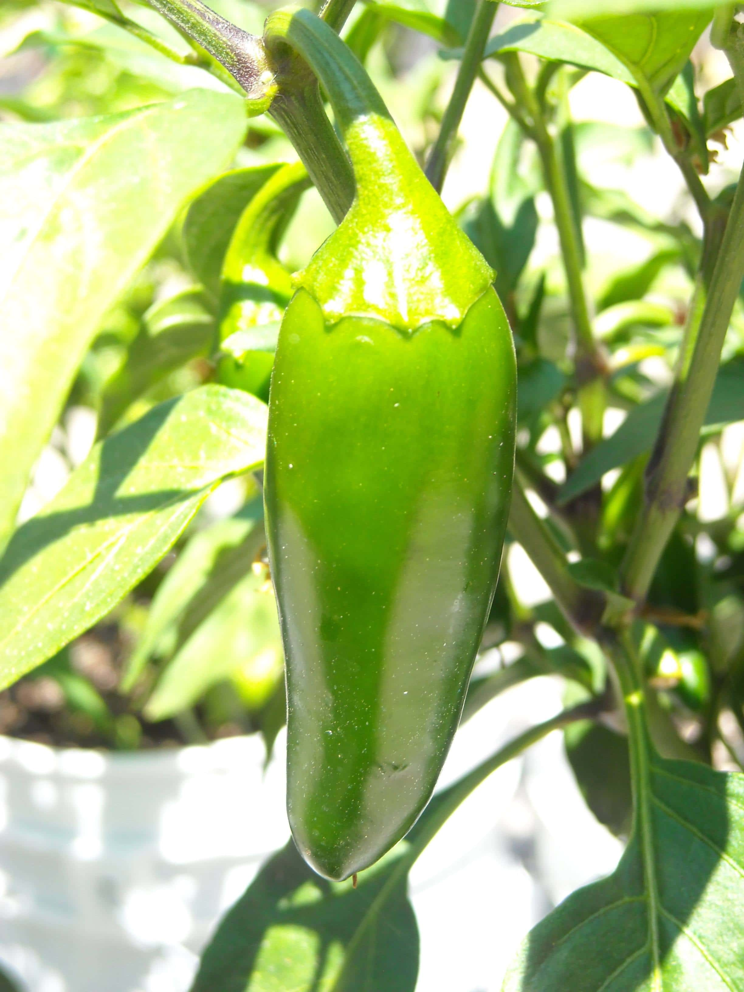 Mucho nacho jalapeno growing on pepper plant.