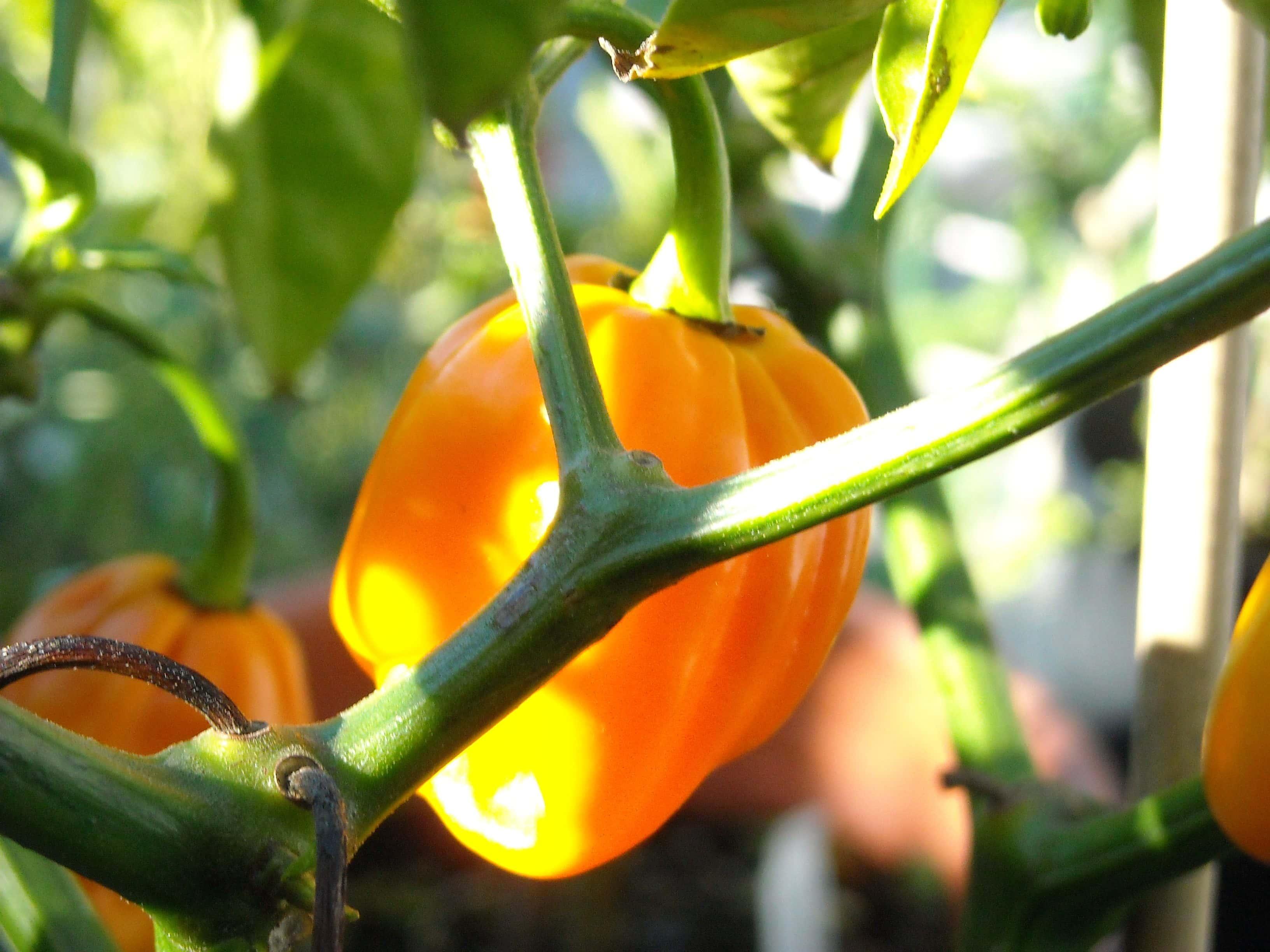 Pumpkin habanero on the vine