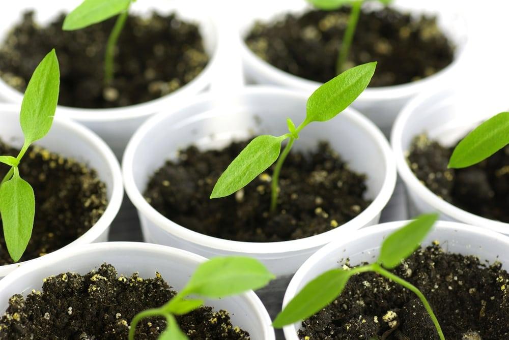 hot peppers seedlings