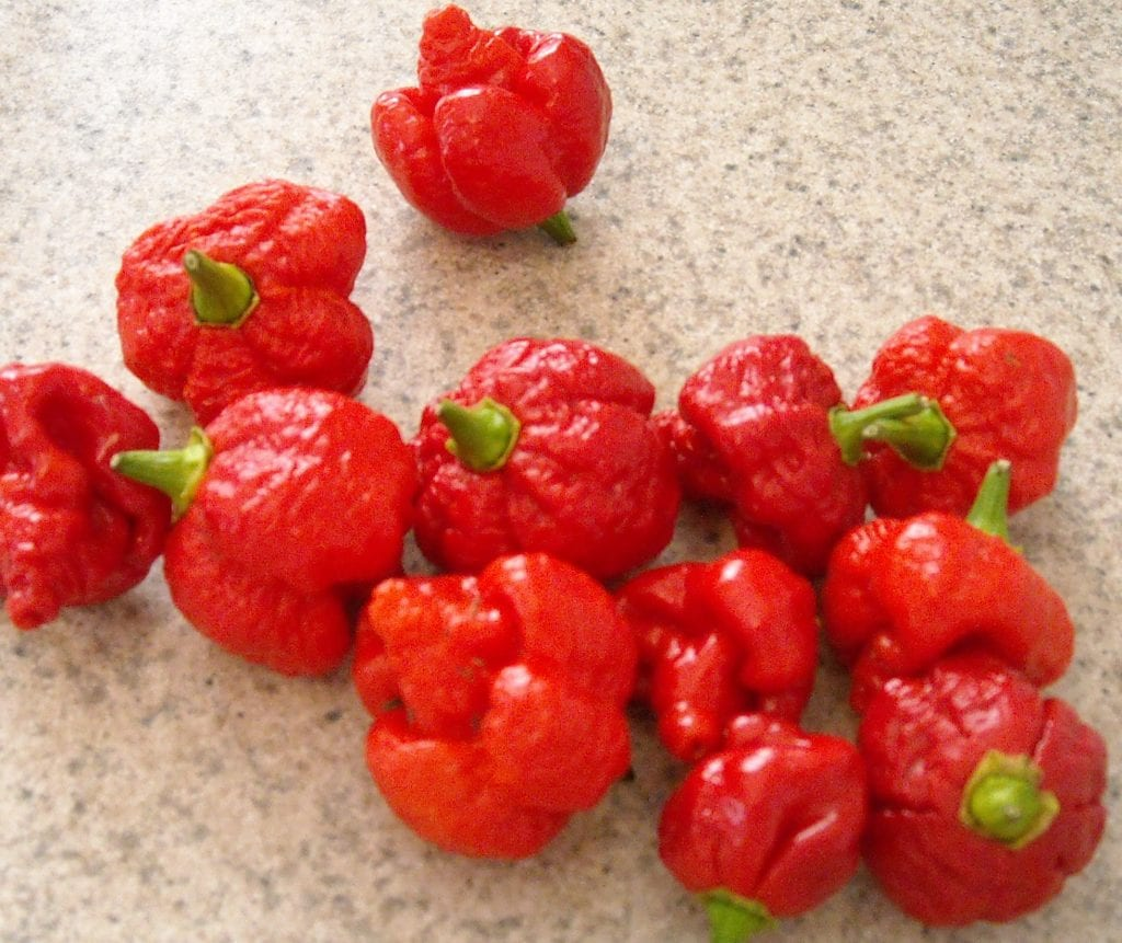 hottest pepper in Trinidad and Tobago trinidad moruga scorpions