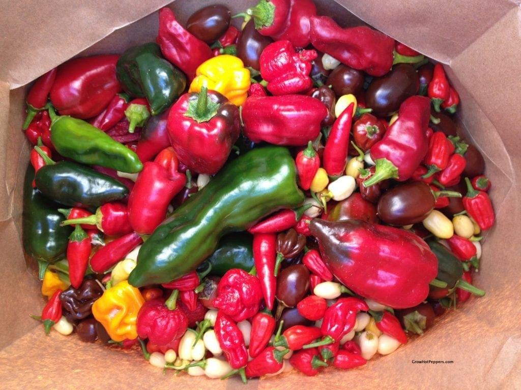 chile pepper harvest