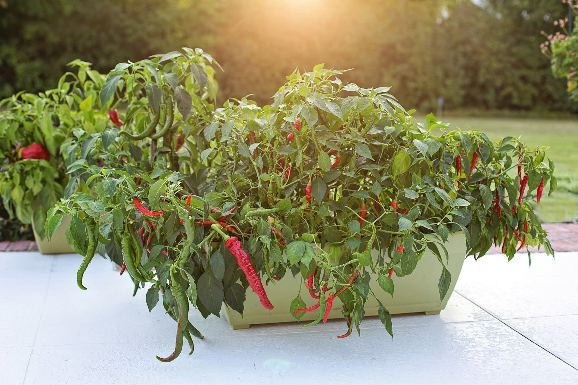 cayenne pepper plants