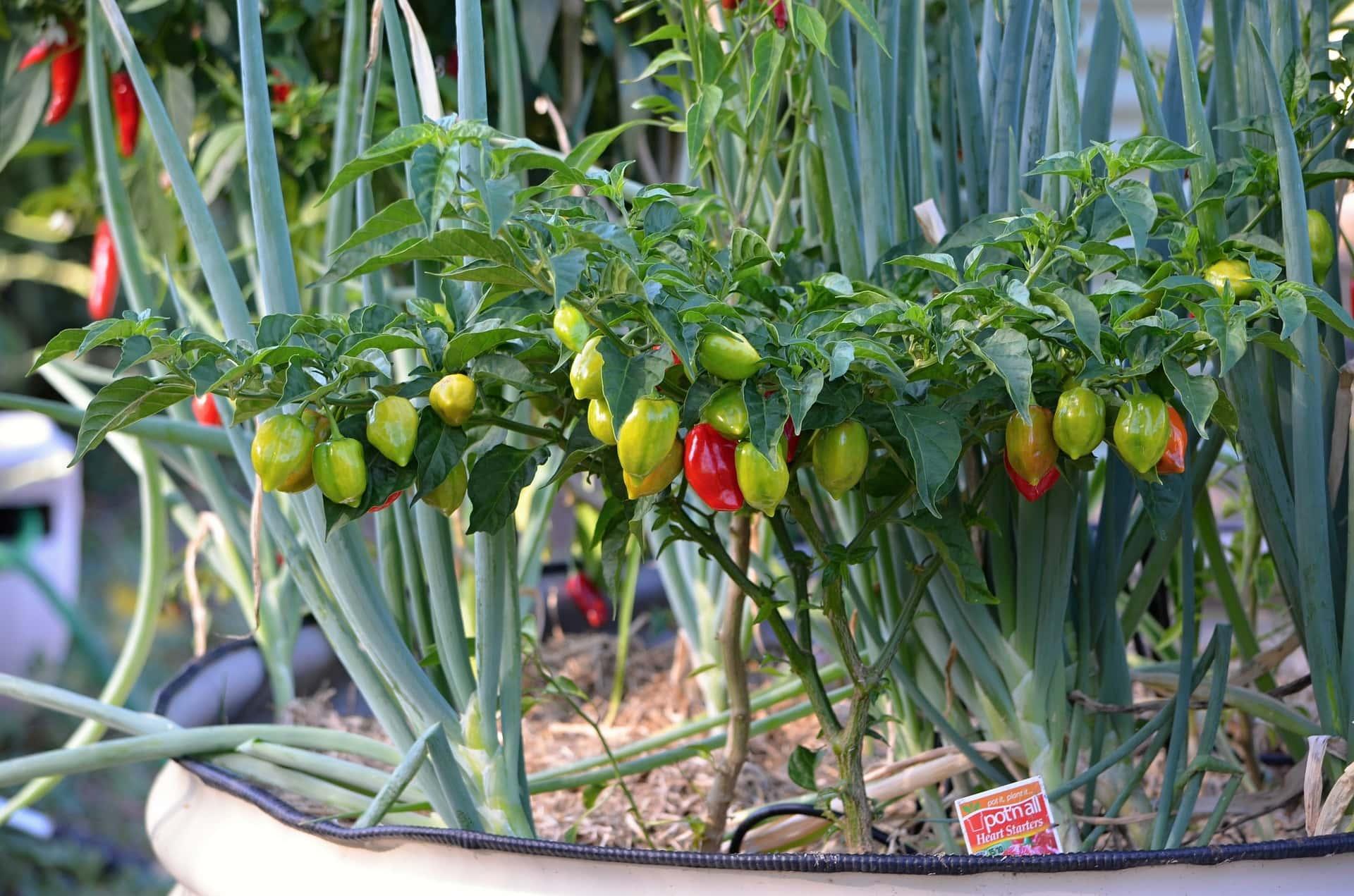 Fertlizing peppers in pot