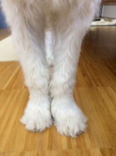 Groodle/Goldendoodle puppy - Carpal joints at 18 weeks old