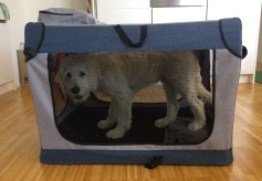 Nando the Groodle puppy at 19 weeks modelling the soft crate