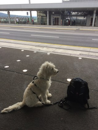 Nando the Groodle puppy 23 weeks - commuting