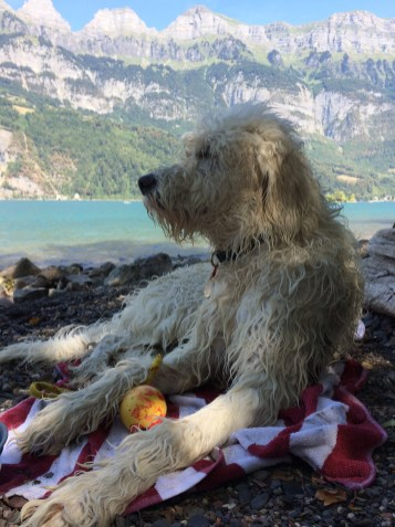 Nando the Groodle puppy at Walensee