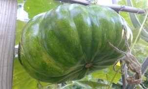 Pumpkin Masque De Province, doing very well on the vertical trellis