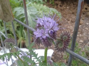 Phacelia Green Manure Flowers