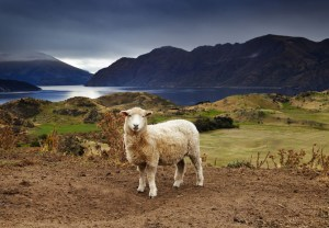 Discipleship Devotional Study Guide – Becoming Like Christ - Day 309 - Luke 15:4-7 - My Lost Sheep - Growing As Disciples