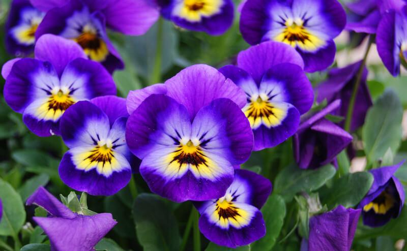 https://i1.wp.com/growingfamily.co.uk/wp-content/uploads/2016/02/violets-pixabay.jpg