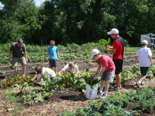 Campers harvesting Swiss Chard