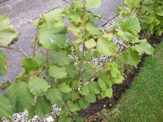 Nut bushes