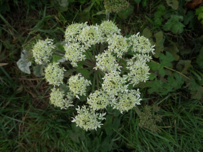 This might be either Hogweed or cow Parsley (either way it's from the carrot family)