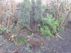 The area I need to clear of shrubs