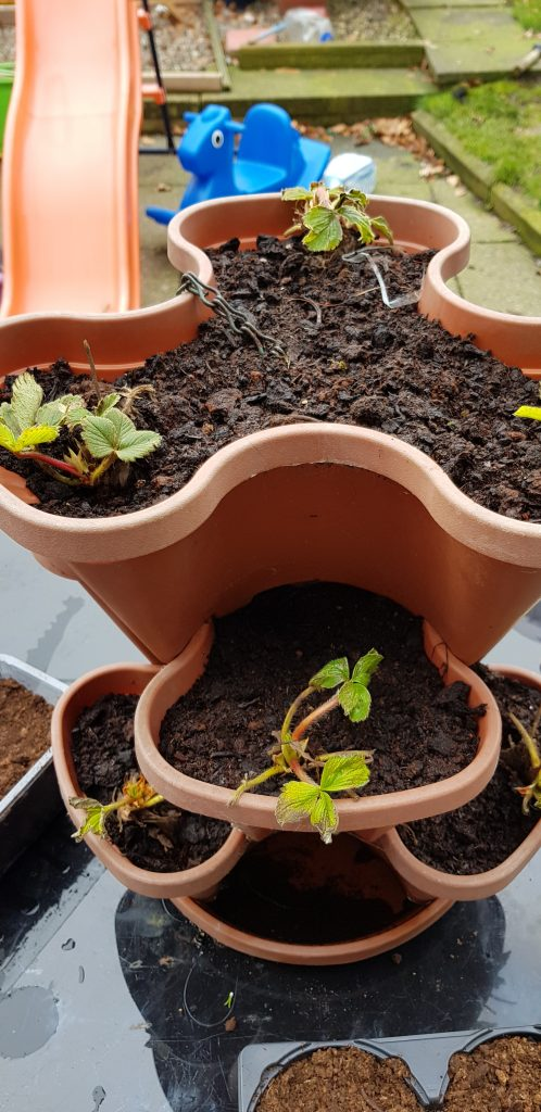 planting strawberries Winter Gardening is a fantastic activity to introduce to kids. So many vegetables and fruit you can grow in winter and indoor projects and crafts to try.