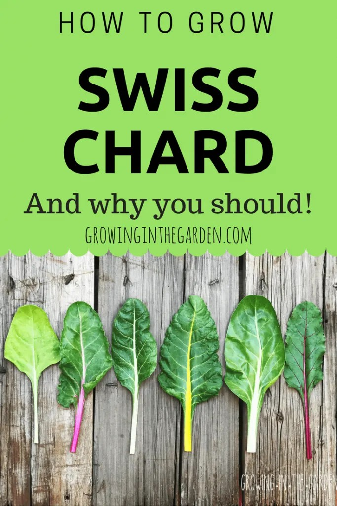 How to grow swiss chard and why you should