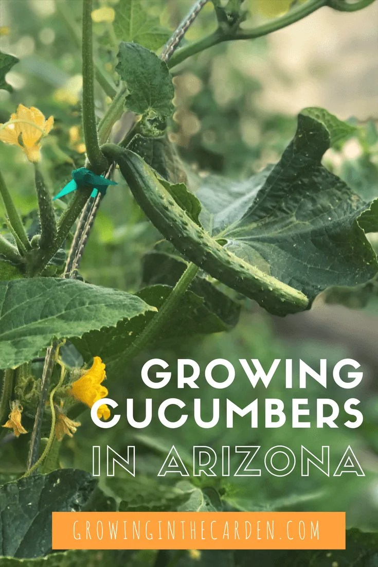 Growing Cucumbers In Arizona Is Possible And Delicious