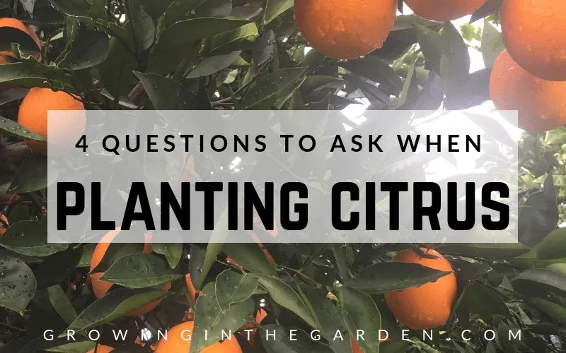 Questions to ask when planting citrus #whichtypeofcitrus