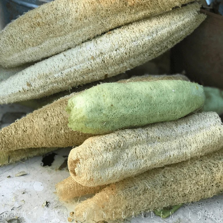 Growing Luffa in the Garden How to grow luffa sponges #luffaseeds#lifecycle#howtogrowluffa#luffa#loofah#howtogarden#gardening#growingluffa#howto