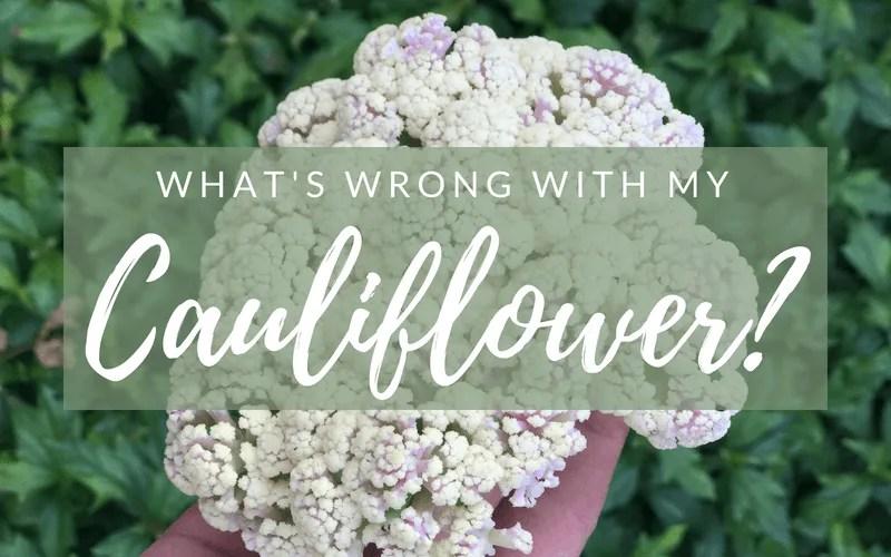 What's wrong with my Cauliflower? #cauliflower #howtogrowcauliflower #gardening #howto