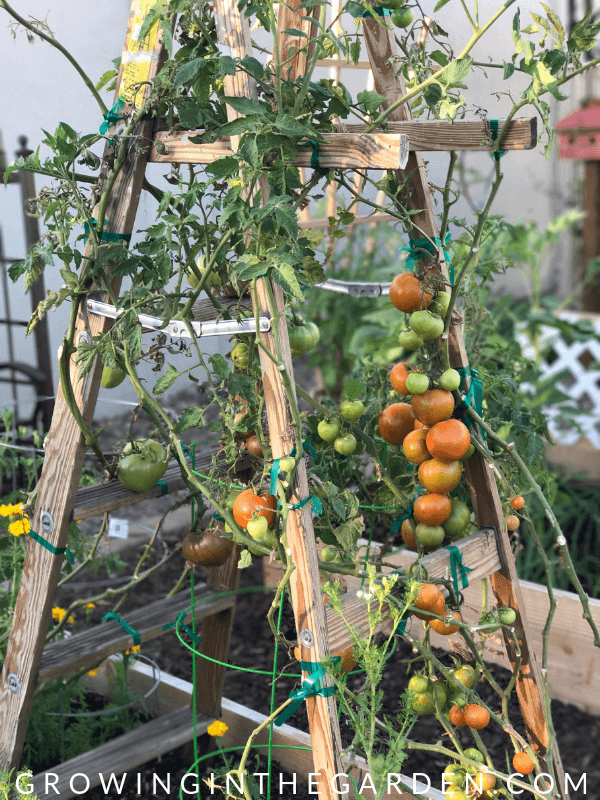 How To Grow Tomatoes In Arizona 10 Tips For Growing Tomatoes