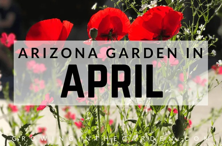 Arizona Garden in April #arizonagardening #arizonagarden #aprilinthegarden