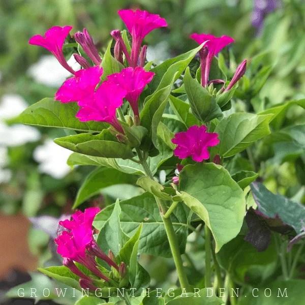 Four o'clock flower in Arizona garden